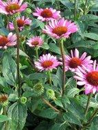 Echinacea pur. 'Little Magnus', Zonnehoed