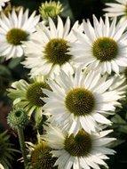 Echinacea pur. 'Virgin', ® Zonnehoed
