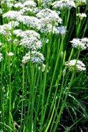 Allium tuberosum, Chineese look