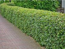 Carpinus betulus, Haagbeuk (bladverliezend) 80-100 cm