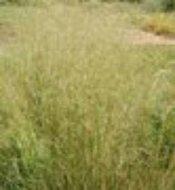 Deschampsia cespitosa 'Schottland', Smele