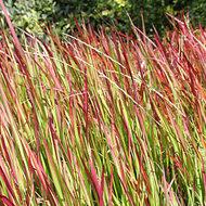 Imperata cylindrica Red Baron, Japans bloedgras p9