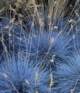 Festuca glauca 'Elijah Blue', Zwenkgras, Schapegras