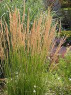 Calamagrostis acutiflora 'Karl Foerster', Struisriet