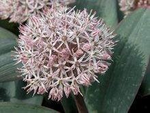 Allium karataviense, Sierui