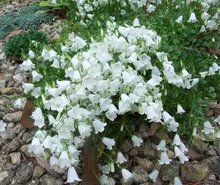 Campanula cochlearifolia 'White Baby', Klokjesbloem