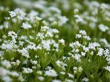 Galium odoratum, Lievevrouwebrdstro