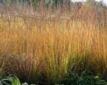 Molinia caerulea 'Heidebraut', Pijpestrootje