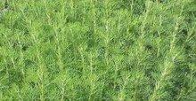 Artemisia arbotranum, Citroenkruid