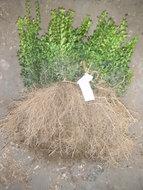 Buxus Sempervirens, Palmboom 20-30cm blote wortel