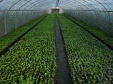 Buxus Sempervirens, 10-15 cm Pot P9
