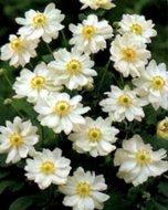 Anemone hybrida 'Whirlwind', Anemoon