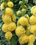 Alcea rosea (Geel), Stokroos