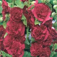 Alcea rosea (Rood), Stokroos