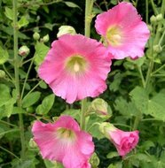 Alcea rosea (Rose), Stokroos