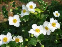 Anemone hybridum 'Andrea Atkinson', Anemoon