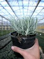 Lavandula angustifolia 'Munstead', (1L pot) Lavendel
