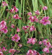 Anemone hybridum 'Hadspen Abundance', Anemoon