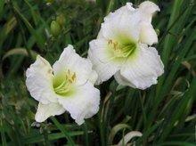 Hemerocallis 'Gentle Shepherd', Daglelie