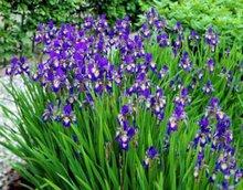 Iris siberica 'Shirley Pope', Iris