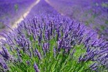 Lavandula officinalis,Lavendel