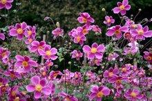 Anemone hupehensis 'Splendens', herfstanemoon