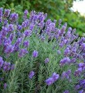 Lavandula int. 'Grosso', 2L Lavendel