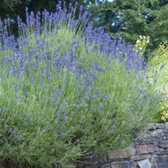 Lavandula int. 'Dutch', 3L Lavendel