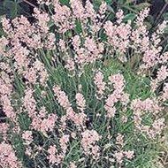 Lavandula ang. 'Rosea', Lavendel