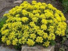 Sedum floriferum 'Weihenstephaner Gold', Vetkruid