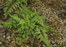 Athyrium niponicum var. Pictum, Wijfjesvaren