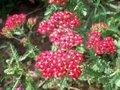 Achillea millefolium 'Cerise Queen', Duizendblad