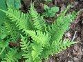 Polypodium-vulgare-Eikvaren