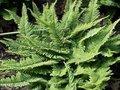 Polystichum-setiferum-Naaldvaren