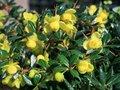 Berberis frikartii 'Amstelveen', 25-30