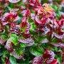 Leucothoe axillaris 'Curly Red', 20-30 Druifheide ®
