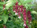 Leycesteria form. 'Golden Lanterns', 40-50 (Notbruce) ®
