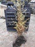 Carpinus betulus, Haagbeuk (bladverliezend) 40-60 cm_