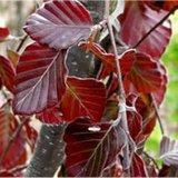 Fagus sylvatica Atropunicea, Rode Beukenhaag 60-80cm_