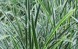 Carex morrowii 'Variegata', Zegge_
