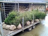 Taxus Baccata, Venijnboom 60-80cm kluit_