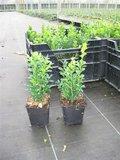 Buxus Sempervirens, 15-20 cm Pot P9_