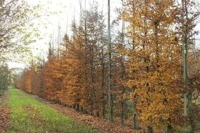 Carpinus betulus, Lei-haagbeuk, Om te leiden zonder rek 10-12 cm stamomtrek