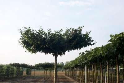 Carpinus betulus, Dakvorm haagbeuk, met rek, 12-14 cm stamomtrek