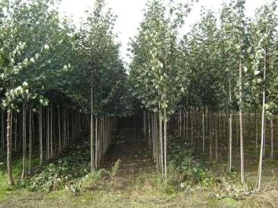 Tilia europea 'Pallida', Koningslinde, Om te leiden zonder rek, 12-14cm stamomtrek