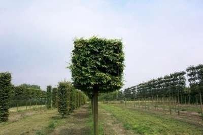 Carpinus betulus, blokvorm (80 x 80cm) haagbeuk, 18-20cm stamomtrek