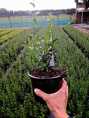 Ligustrum Ovalifolium, Ligusterhaag 30-40cm pot