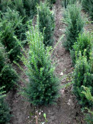 Taxus Baccata, Venijnboom 50-60cm kluit