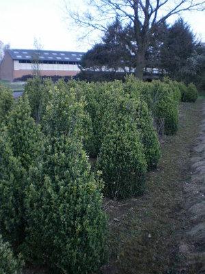 Buxus sempervirens, kegel 100-120 cm