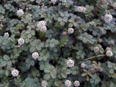 Acaena magellanica, Stekelnootje